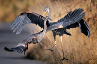 Great Blue Herons, a Pair