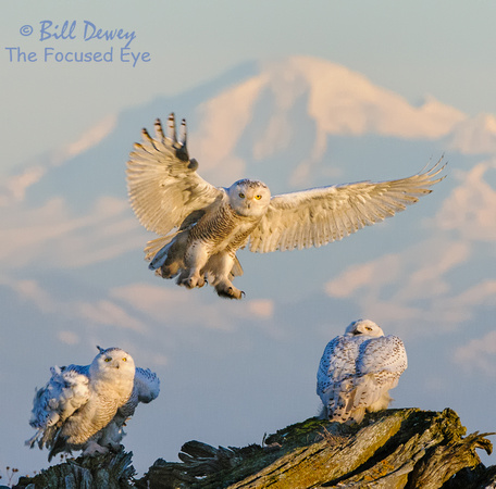 Mt. Baker Sunset - Snowy Owls